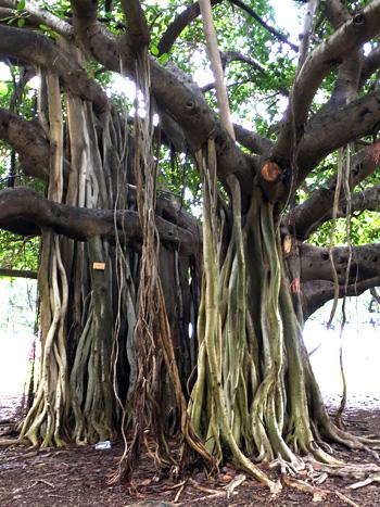 カピオラニ公園のバニヤンツリー