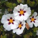 傷に効く植物vol.2「シストローズ(ラブダナム)」